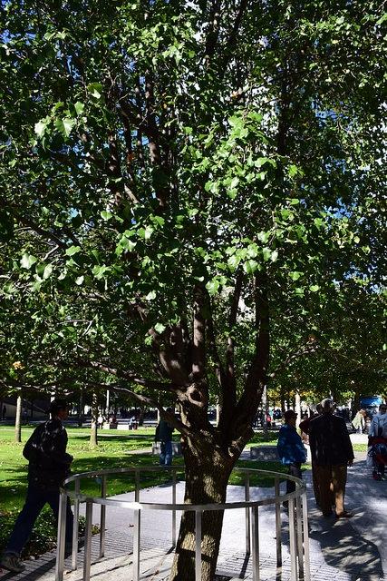 Drzewo Przetrwania (Survivor Tree), 9/11 Memorial, Nowy Jork, USA